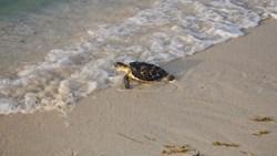 «بيئة أبوظبي» و«نواة» للطاقة تعيدان مجموعة من السلاحف البحرية إلى موائلها الطبيعية